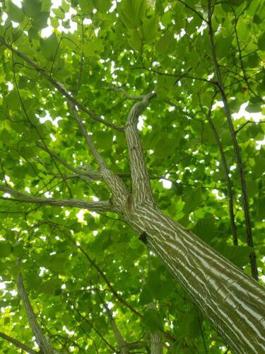 25 seeds Snake Bark Maple acer davidii Viper Ornamental bonsai agate