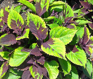 COLEUS-CHOCOLATE-SPLASH-Solenostemon-Scutellarioides-40-Bulk-Seeds