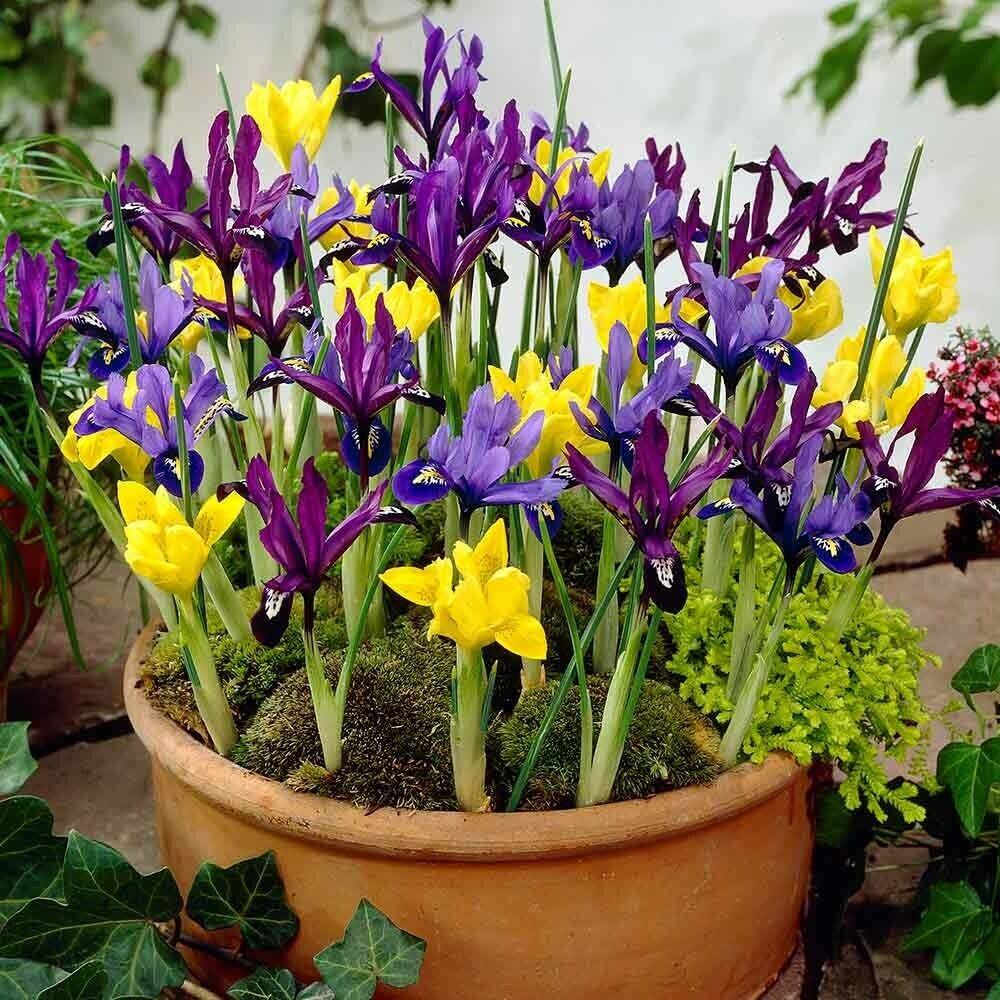 Bolly Bulbs® Mixed Dwarf Iris Reticulata 'Spring Flowering', Winter Hardy