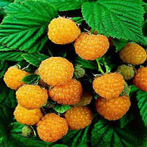 50-Pcs-Rare-Delicious-Raspberry-Fruit-Seed-Sweet-Juicy-Raspberries-Plant-Clever