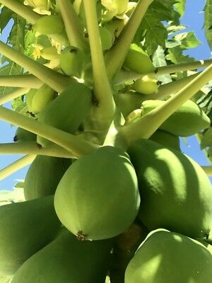 papaya melonenbaum papayapflanze papayabaum carica papaya ebay