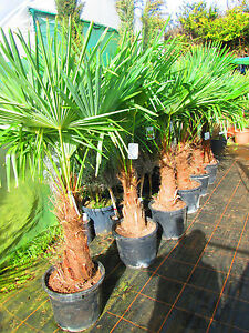 5ft-5-5ft-Hardy-Palm-Tree-Trachycarpus-fortunei-20litre-18-20inch-trunk