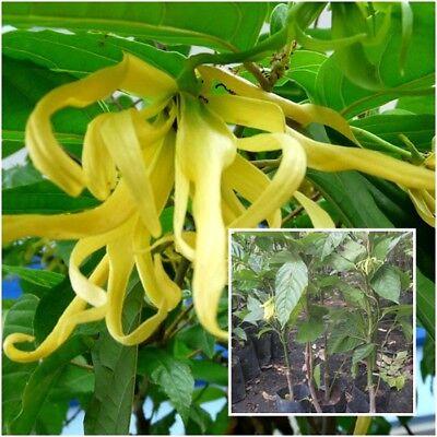 Cananga Odorata Tree Plant Ylang Ylang Fragrant Flower From