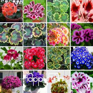 Purple-Geranium-Bonsai-vivace-Fleurs-Pelargonium-peltatum-100-PIECES-graines-2019