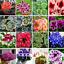 Purple-Geranium-Bonsai-vivace-Fleurs-Pelargonium-peltatum-100-PIECES-graines-2019 miniature 1