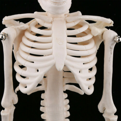 45cm Simulation Small Body Skeleton Model Medical Teaching Skull Bone Body Model