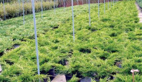 4 piante Ginepro tappezzante vaso 8 Juniperus