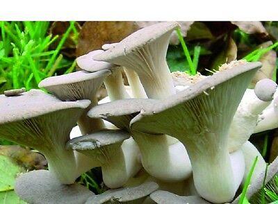 Garten oder Keller: PILZZUCHT Austernpilze Austernseitlinge - bis 12kg Ernte!!