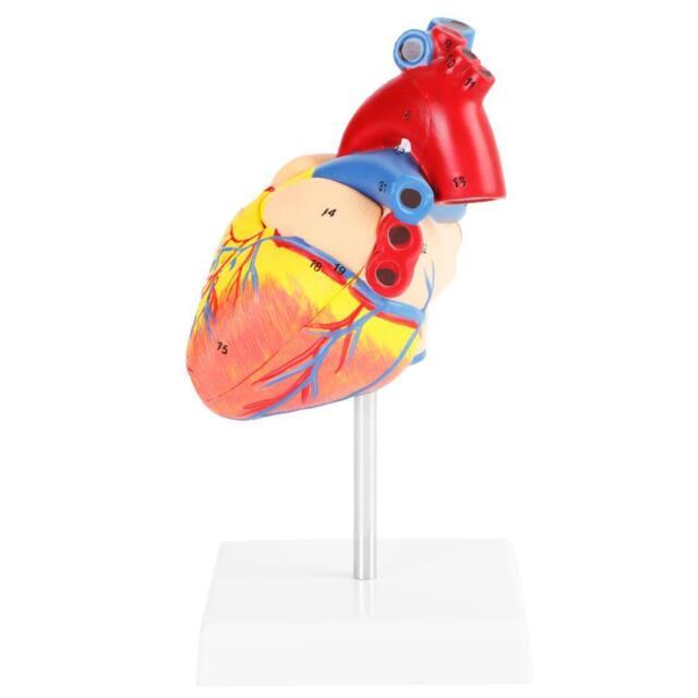 1 1 Anatomical Human Life Size Heart Model Medical Cardiovascular 2 Parts
