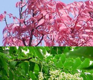 Toona-sinensis-100-Samen-Chinesischer-Gemuesebaum-TCM-Cedrela-Wok-Gemuese