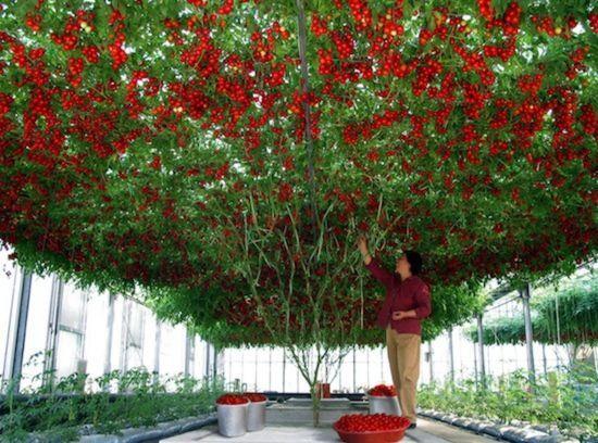 TOMATO 'Giant Tree' 15+ seeds *RARE* HUGE vine LONG HARVEST Italian HEIRLOOM