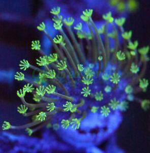 Cornbred's Neon Lights Toadstool - Frag - LIVE CORAL