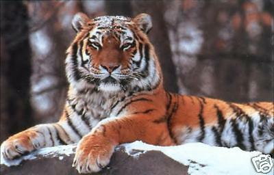 Tigre du Bengale Cross Stitch Chart BN! T004