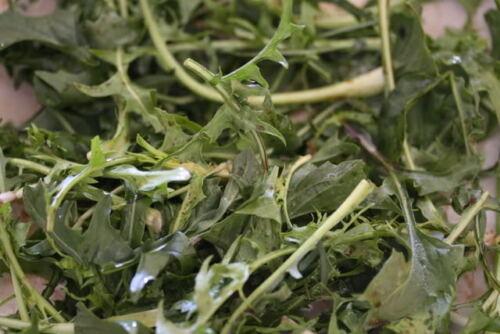 250 Chicoria Catalogne Cicoria Puntarelle Chicorium Chicorée Légumes Graines
