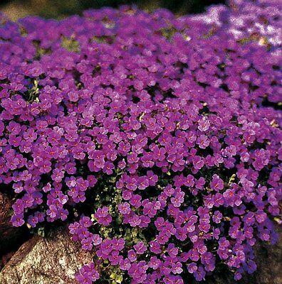 Aubretia - Cascade Purple - 250 Seeds