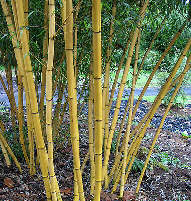 100+ fresh Chinese Timber Bamboo Seeds with instructions - Phyllostachys Vivax