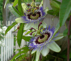 100 BLUE PASSION FLOWER Passiflora Caerulea seeds BULK