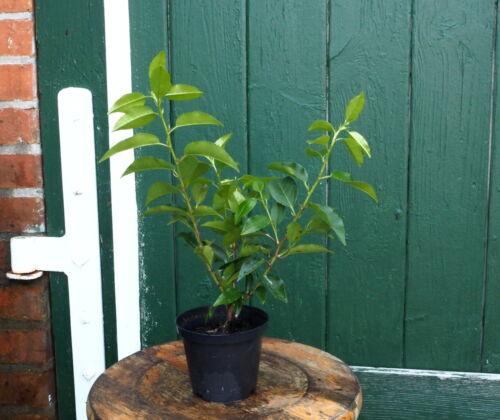 5 Portugiesiescher Kirschlorbeer Prunus lusitanica /'Angustifolia/' 20-25 cm Topf