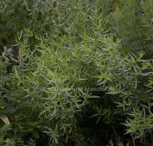 Franzosischer-Estragon-Artemisia-dracunculus-v-sativa