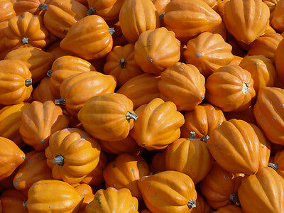 Heirloom Table Gold Acorn Winter Squash - 30 seeds - Great flavor, compact plant