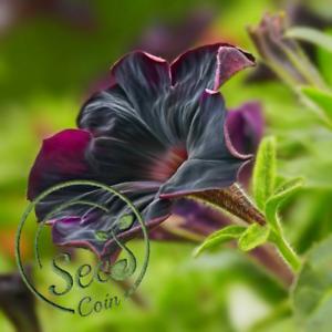 Black Petunia Seeds Flowers Bonsai Rare Beautiful Garden Home Yard