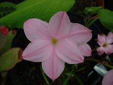 Rain Lily, Zephyranthes Labufarosea mixed colors, 5 bulbs, NEW, habranthus