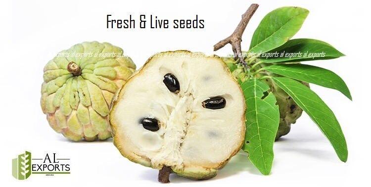 500+ semillas de flan Apple blancoo Semillas frescas y en vivo, fruta orgánico raro