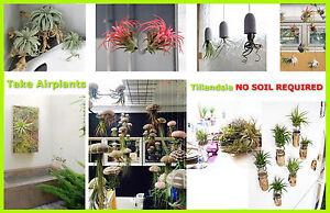 Tillandsia Air Plante D Interieur Maison Plante Fleur Pour Cadeau