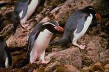541058 Snares Island Penguins A4 Photo Print