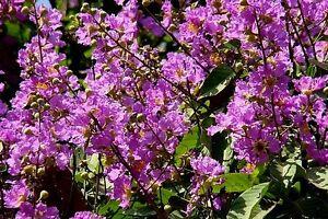 Embrujo-de-la-India-LAGERSTROEMIA-SPECIOSA-9-Semillas-Jardin-Flores-Samen