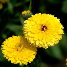 Graines de Soucis des jardins varié fleurs doubles abondante mélange 2,5 grammes
