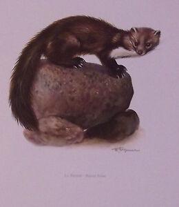 Impression-Affiche-papier-Histoire-Naturelle-la-Fouine-Martes-foina