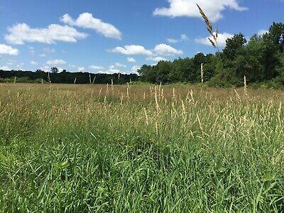 250 seeds Reed Canary Grass Phalaris Arundinacea