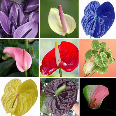 500xpack Rare Flower Seeds Anthurium Seeds Balcony Potted Plant Anthurium Flower Ebay