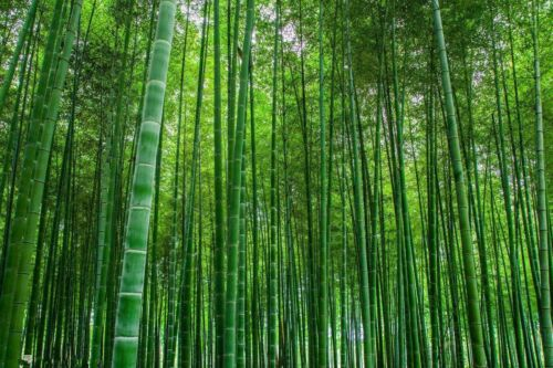 200g Moso Bamboo Hardy Rare Seeds 4 Giant Plant Pubescens Phyllostachys edulis