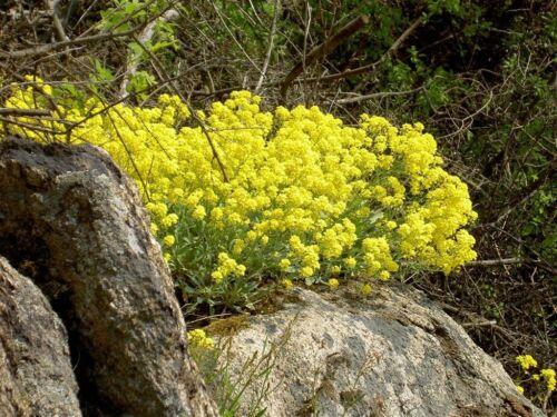 Mountain madwort River of gold superbe espèces vivaces pour rockerys et murs