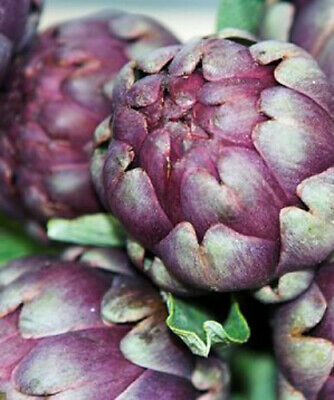 Vegetable seeds garden allotment Artichoke Violet de Provence