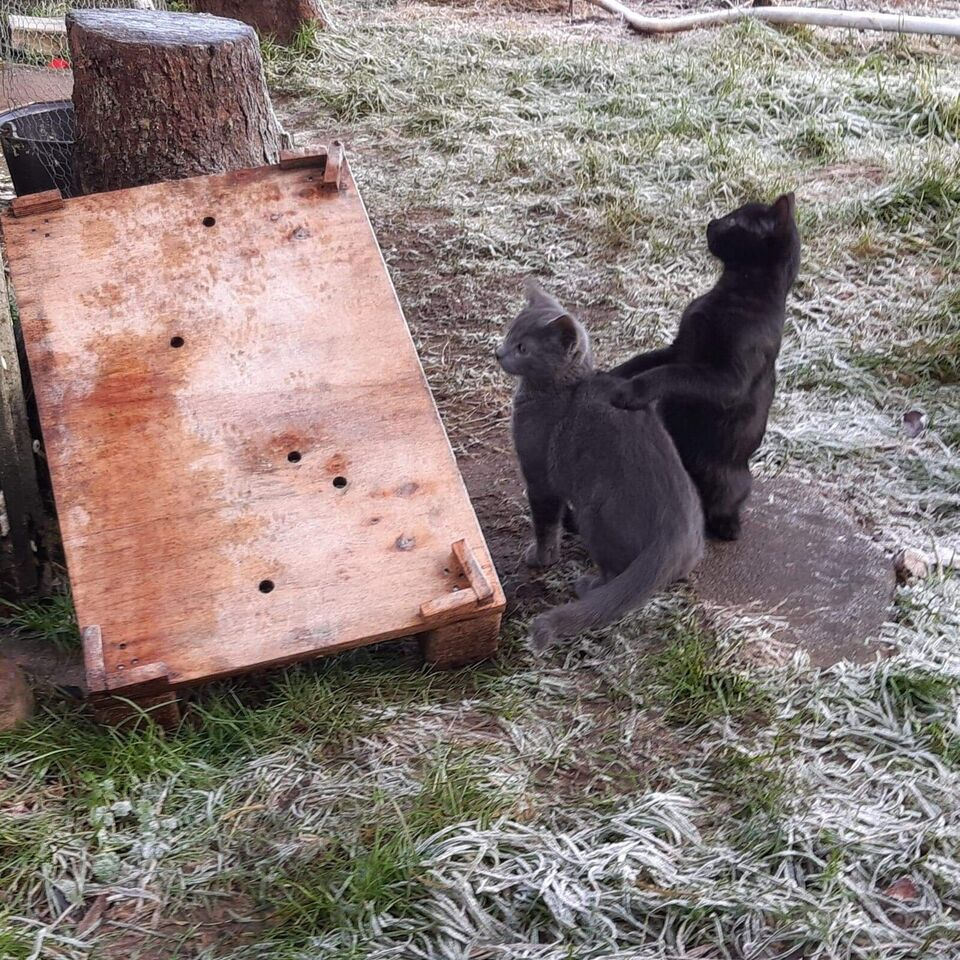 Flere killinger, Gårdkat, 11 uger