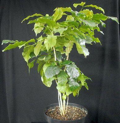 Coffea Plant Seeds ★ SUMATRA MANDHELING ★ Popular Variety ★ GMO FREE ★ 50+ Seeds