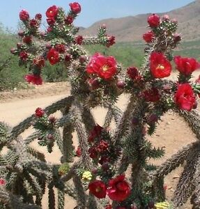 CANE CHOLLA ~CHOLLA SPINOSIOR~ Drought Tolerant Hardy Opuntia Cactus Plant