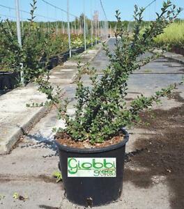 Cotognastro - Cotoneaster per Bonsai vaso 18 (OFFERTA 4 piante) | eBay