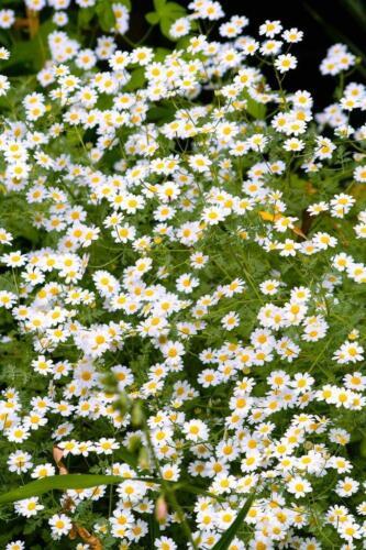 Graublättrig Mutterkraut Tanacetum Niveum /'Jackpot/' Silber Rainfarn 200 Samen