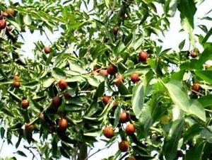 Dattelbaum Samen// Deko Dekoidee Dekoration für den Balkon Garten Flur Blumentopf