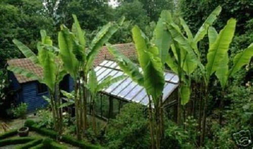 Winter Hard fibre banana plantations exotic plants for the Garden Balcony