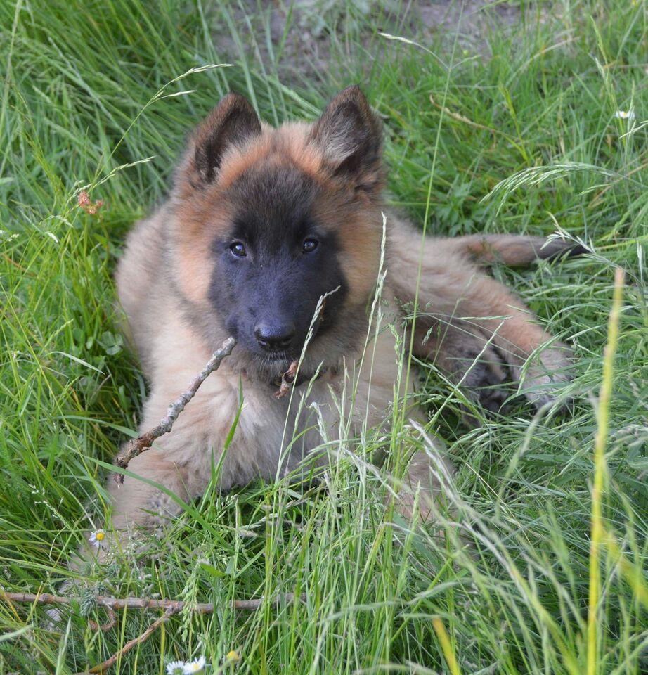 Højmoderne Tervueren, Belgisk Hyrdehund, – dba.dk – Køb og Salg af Nyt og Brugt MW-28