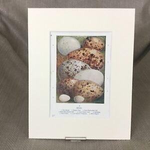 Vecchio Vittoriano Stampa Uccelli Uova Egg Raccolta Ca 1895