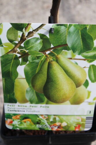 Approx 80cm Tall Variety Beurre Hardy Dwarf Patio Fruit Tree Pear