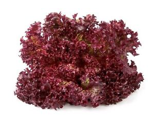 Lettuce-Ruby-Red-Non-GMO-Heirloom-Garden-Vegetable-Seeds-Sow-No-GMO-USA