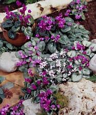 Cyclamen Coum Perennial Seeds