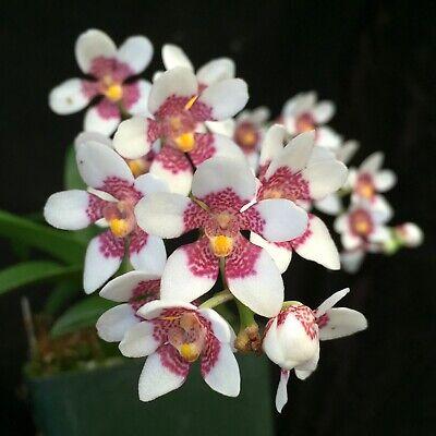 Native Australian orchid/_/_SARCOCHILUS/_/_cold tolerant hardy RARE distinctive EZ